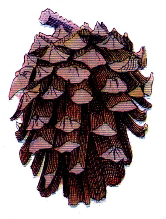 pine+cone+vintage+image+graphicsfairy4c